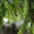 Pine tree close-up — Stock Photo #32825533