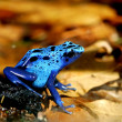 Stock Photo: Colorful blue frog Dendrobates tinctorius