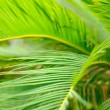 Palm leaves close-up — Stock Photo #32826369