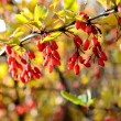 Barberry close-up in autumn — Stock Photo