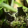 Two green frogs in terrarium — Stock Photo #32826705