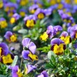 Heartsease flower (Viola tricolor) in spring — Stock Photo #32826815