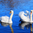 A couple of swans in the blue lake water — Photo #32826907