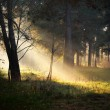 Sunbeams in fog in the forest — Stock Photo #32827441