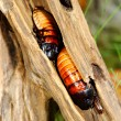 Madagascar hissing (Gromphadorhina portentosa) cockroach — Stock Photo