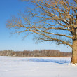 Lonely oak tree in the field in winter — Stock Photo