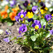 Heartsease flower (Viola tricolor) in spring — Stock Photo #32827617