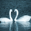 A couple of swans simbolizing heart sign — Stock Photo