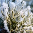 Pine tree covered with hoar-frost — Stock Photo