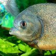 Piranhin aquarium — Stock Photo #32828559