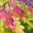 Close-up of a red saturated oak leaves. Shallow depth of field — Stock Photo