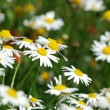 Fragment of a camomile field with flowers — Stock fotografie