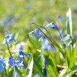 Siberian Squill Scilla siberica close-up — Stock Photo