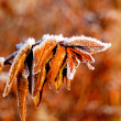 Autumn leafs with hoar frost — Stock Photo #32829759
