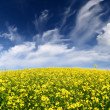 Yellow rapeseed field in Latvia — Stock Photo