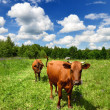 Two cows at the green against blue sky — Stock Photo #32829957