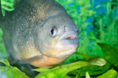 Piranha fish in aquarium — Stock Photo