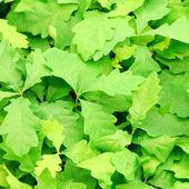 Oak leafs background — Stock Photo