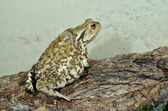 European common toad — Stock Photo