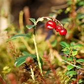 Cowberry — Stock Photo