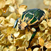 Large scarab beetle Mecynorrhina polyphemus — Stock Photo