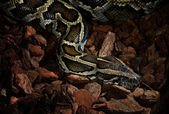 Tiger python close-up in low key light — Zdjęcie stockowe