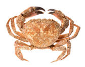 Edible shore crab isolated on white — Stock Photo