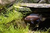 Cichlid fish in aquarium — Stock Photo