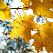Yellow tree leafs close-up in Fall season. Shallow depth of fiel — Stock Photo