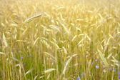 Agriculture view. Wheat field close-up — Stock Photo