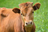Calf portrait at the green filed — Stock Photo