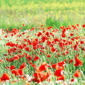 A poppy field in Latvia — Stock Photo