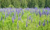Primer plano de lupino flores — Foto de Stock