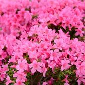 Pink Rhododendron blooming in spring — Stock Photo