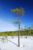 Lonely pine tree and winter forest lanscape — Stock Photo