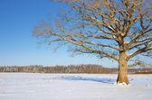 Lonely oak tree in the field in winter — Stock Photo