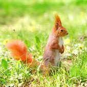 Tatlı turuncu sincap ayakta çimen çiçekler — Stok fotoğraf