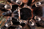 Balck tarantula — Stock Photo