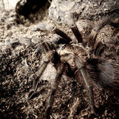 American desert tarantula Phormictopus platus in natural environment — Stock Photo