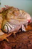 Iguana resting — Stock Photo