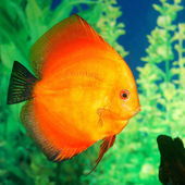 Discus fish Symphysodon spp. in aquarium — Stock Photo