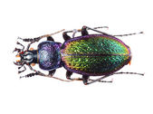 Colorful ground beetle isolated — Stock Photo