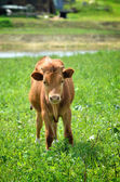 Calf at the green filed — Stock Photo