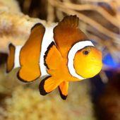Clownfish in marine aquarium — Stock Photo