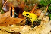 Colorful yellow frog Fillobates terribilis — Stock Photo