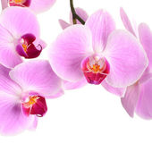 Pink orchid flower close-up isolated on white — Stock Photo