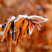 Autumn leafs with hoar frost — Stock Photo