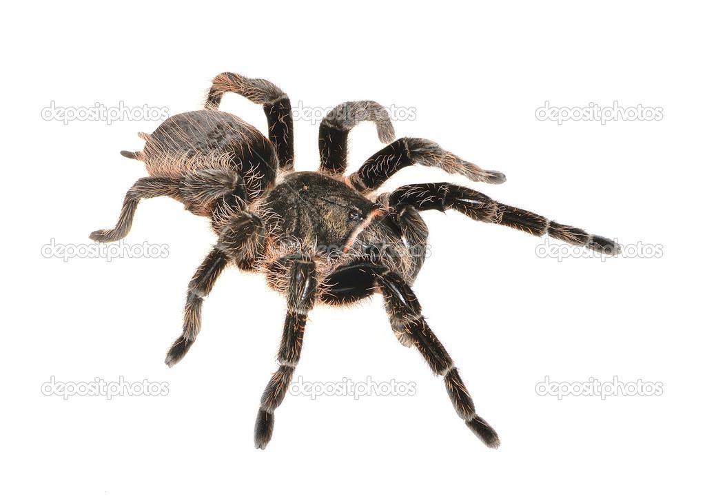 Tarantula striped kneezebra leg tarantula