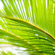 Palm leaves close-up — Stock Photo #32830209