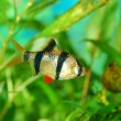 Tiger barb Puntius tetrazona in aquarium — Stock Photo